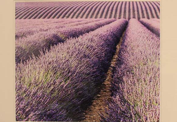 #234 David Retterbush-Lavender Rolls-$#195