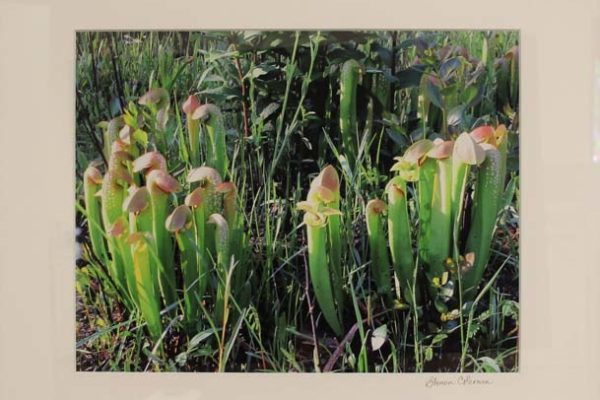 #57 Sharon L. Coleman-Beauty in the Bog II-$225